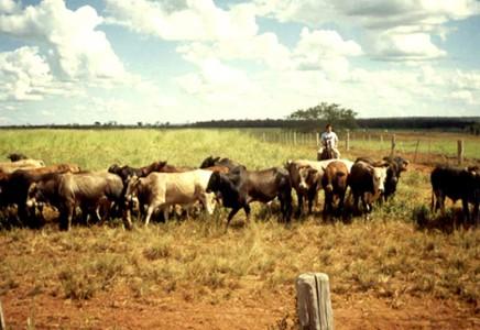 Livestock-Farm-for-Sale-in-Mato Grosso-Brazil
