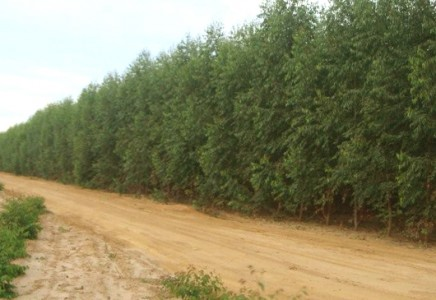 Softwood-Forestry-for-Sale-in-Minas-Gerais-Brazil
